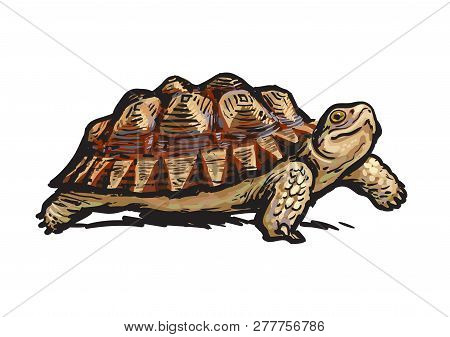 African Spurred Tortoise.cheerful Turtle Walking. Realistic Hand Drawn Vector Illustration.