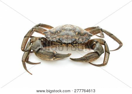 Crab. Black sea crustacean isolated on white background. poster