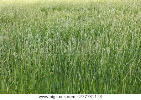 Green Field Of Growing Grass And Unripe Spikelets Of Wheat In Spring In Windy Weather