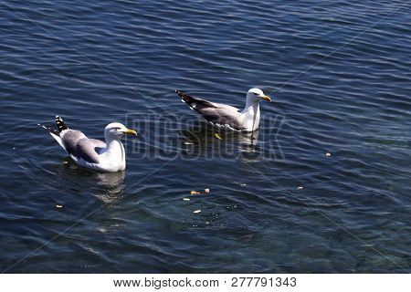 Two Waterfowls Floating on Blue Water with Food Thrown at them. Black Back Gulls Waiting to be Fed. White Feathered Birds with Yellow Beak Swimming Calmly. poster