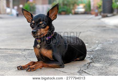 Miniture Dog Breed, Miniature Pinscher Rests On Driveway