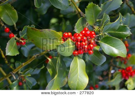 Holly Berries 02