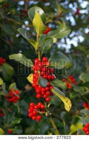Holly Berries 03