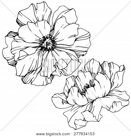 Vector Peony Floral Botanical Flower. Black And White Engraved Ink Art. Isolated Peony Illustration