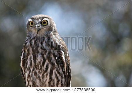 the barking owl is perched on a tree branch poster