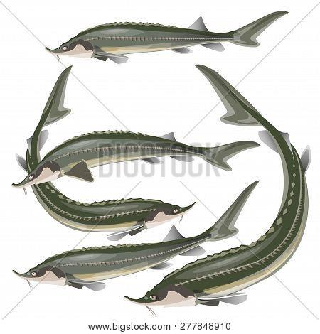 Set Of Sturgeon Fish. Vector Illustration Isolated On White Background