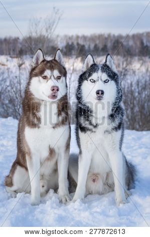 Siberian Husky dogs. Two beautiful Siberian Huskies with mesmerizing eyes. Eye color blue and amber. Dogs are alert, full of energy and loyal. poster