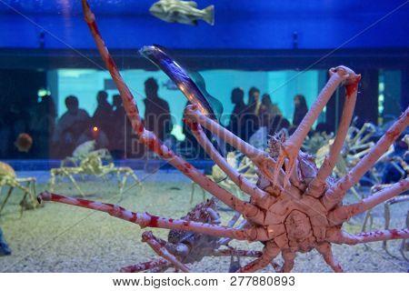 Close Up Of Giant Spider Crab In Aquarium