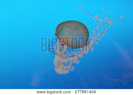 A Jellyfish In The Osaka Aquarium, Japan