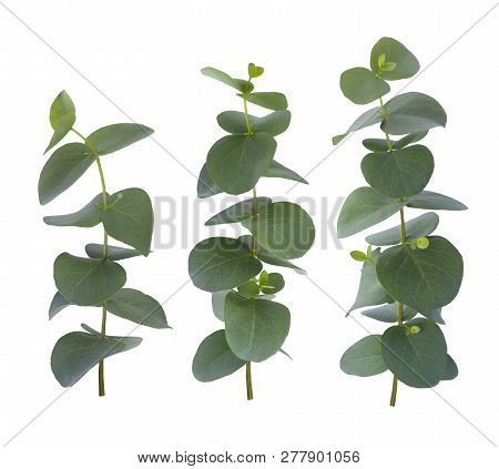 Eucalyptus Three Twigs With Green Leaves Isolated On White Background