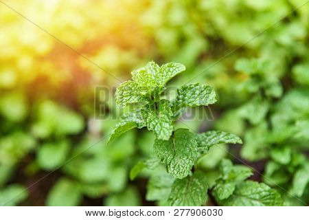 Leaf Mint Background / Peppermint Leaf Green Plants In Garden Herbs And Food Thai - Mint Leaves Plan