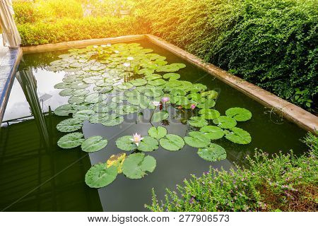 Lotus Pond / Water Lily Or Lotus Flower And Green Leaf Growing Water Pond In The Garden