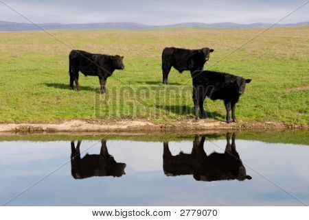 Range Cows Reflection