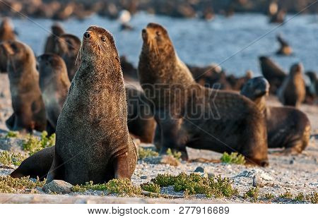 Northern Fur Seal (callorhinus Ursinus) Is An Eared Seal Found Along The North Pacific Ocean, The Be