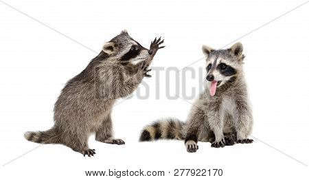 Two Funny Raccoons Sitting Together Isolated On White Background