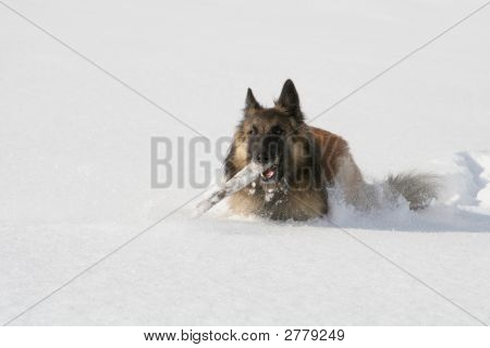Shepherd Dog Running In The Snow