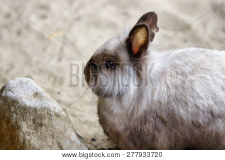 Portrait Of Smoky-grey Domestic Pygmy Rabbit. Photography Of Nature And Wildlife.
