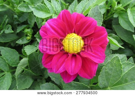 Zonguldak Park Red Yellow Dahlia Flower And Leaves