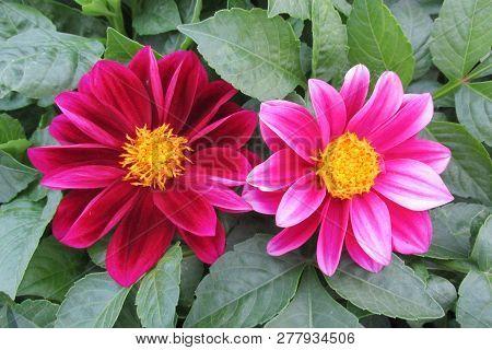 Zonguldak Park Pink Yellow Dahlia Flower And Leaves