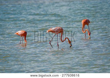 Flamingos In Rio Coloradas On The North Of Mexico