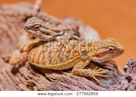 macro of two bearded dragons in the terrarium poster