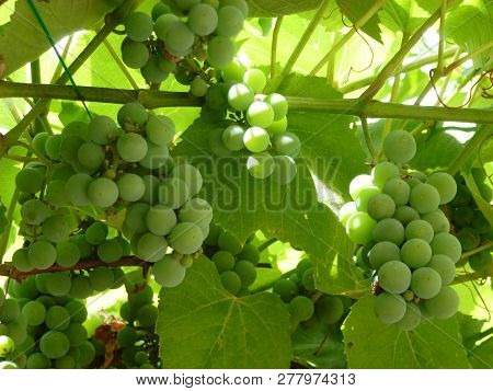 The Bunch Of Green Grape On Vine