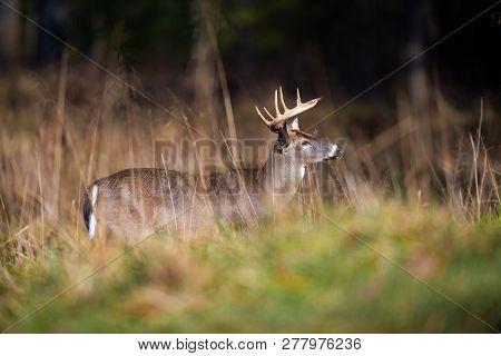 White-tailed Deer Buck In Open Meadow