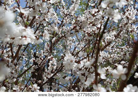 Apricot Tree Blooms Profusely With White Flowers