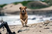 Obedient Golden Retriever dog races across the sandy shore of the beach at top speed. poster