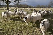 A herd of sheep animals on farm illustrating farming agriculture wool livestock and animals. poster