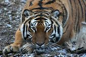 This is an image of an adult tiger. poster