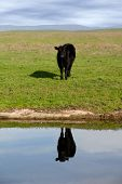 Black Angus Range Cow Reflected in Pond Under American Western Skys poster