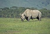 Black rhinoceros. Photographed in the Ngorongoro Crater Tanzania poster