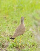 African Wattled Lapwing, also known as the Senegal wattled  plover or simply wattled lapwing poster