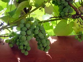 The Bunch Of Green Grape On Grapevine