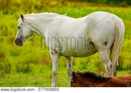 Beautiful White Connemara Pony On The Green Grass With Her Brown Foal Next To Her Lying On The Grass