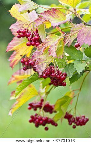 Viburnum Berries In The Autumn Forest