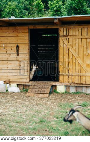 A Goat Peeks Out Of A Paddock On A Goat Farm.