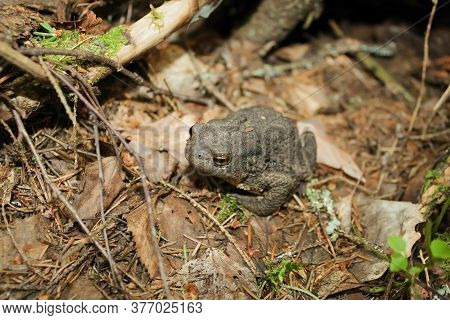 The Grey Toad Is Hiding In The Forest.
