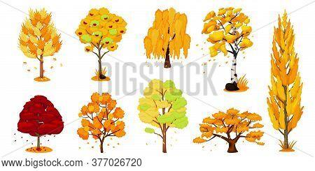 Autumn Trees Set. Isolated Oak, Birch, Maple Tree Plant With Yellow And Orange Fall Foliage Leaves I