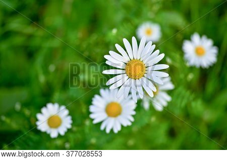 White Daisy Close - Up Against The Background Of Other Daisies And Green Leaves. The View From The T