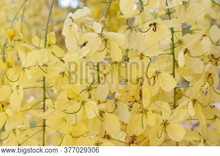 Golden Shower Tree, Cassia Fistula Or Thai People Call Ratchaphruek Bloom For Background.