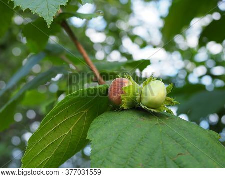Mature Fruits Of Hazelnut. Hazelnut Tree Canopy, With Young Fruit