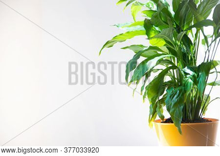 Spathiphyllum Flower. Home Flower In A Yellow Pot On The Table . Leaves Are Green. Article About The