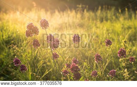 Summer Meadow With Wild Garlic Thickets In The Morning Sun. Natural Background. The Concept Of Mood
