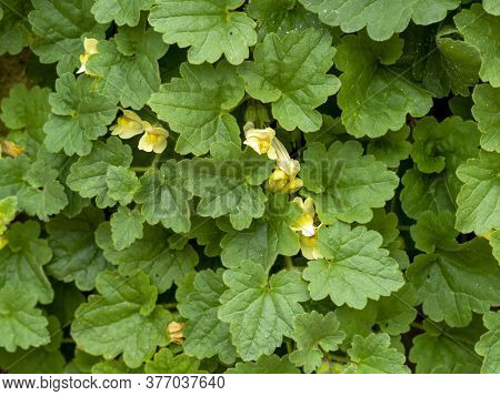 Green Leaves And Yellow Flowers Of Trailing Snapdragon, Asarina Procumbens, Growing On A Stone Wall