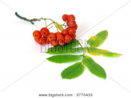 Closeup Of Bunch Of Ashberry