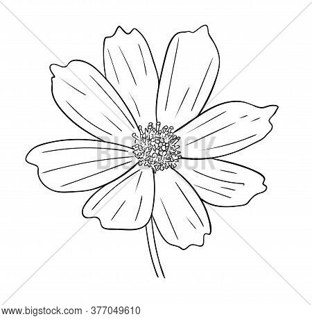 Vector Illustration, Isolated Cosmos Flower In Black And White Colors, Outline Original Hand Painted