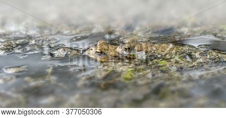 Low Angle Shot Showing Two Common Toads At Pairing Season In A Pond