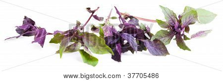 Basil Isolated On The White Background